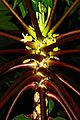 Octastichous Phyllotaxy of Papaya leaves.jpg