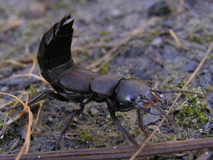 Rove beetle - Image: Ocypus spec