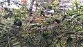 Oecophylla smaragdina nest 02.jpg