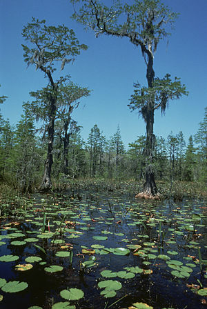 Taxodium distichum wetlands, Okefenok...