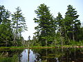 Old growth Pinus strobus.jpg