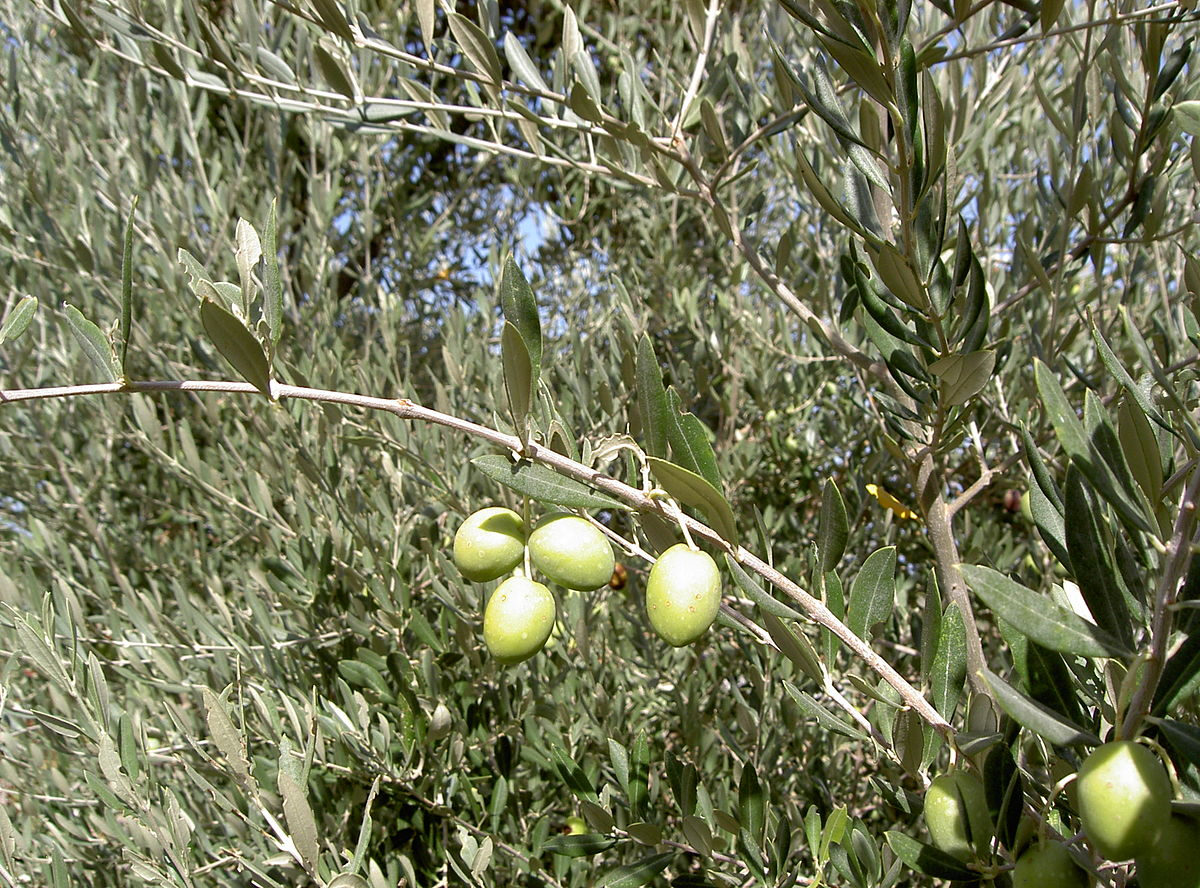 olive — Wiktionnaire