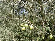Uma oliveira