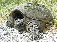 One mean Turtle - Snapping Turtle, Chelydra serpentina - Flickr - GregTheBusker.jpg