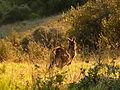 Onkapringa River NP kangaroo P1000611.jpg