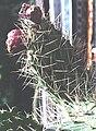 Opuntia sp 2.jpg