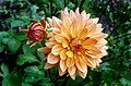 Orange Ruby. Dahlia (24663832702).jpg