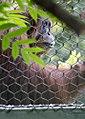 Orangutan in 360 zoo (28699376286).jpg