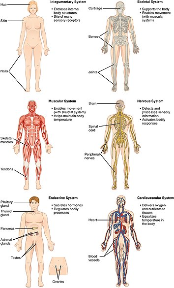 list of systems of the human body - wikipedia, Muscles