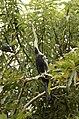Oriental Darter Anhinga melanogasterfrom Ranganathittu Bird Sanctuary JEG4418.JPG