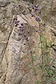 Origanum vulgare kz01.jpg