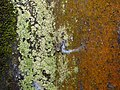 Ornamental Tree Trunk Spider Herennia multipuncta by Raju Kasambe DSCN7319 (1) 01.jpg