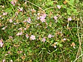 Osbeckia brachystemon-2-chemungi-kerala-India.jpg
