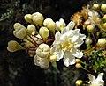Osteomelesanthyllidifolia.jpg