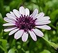 Osteospermum sp. Flower.JPG