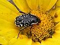 Oxythyrea cinctella.jpg
