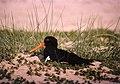 Oystercatcher (Haemotopus ostralegus), Titchwell - geograph.org.uk - 681234.jpg