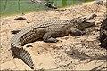 Pájara La Lajita - Oasis Park - Crocodylus niloticus 05 ies.jpg