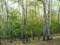Pădurea de argint Dobreni 10.JPG