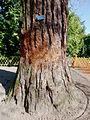 P1320113 Angers arboretum GA sequoia geant tronc rwk.jpg