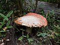 PCT fungus - Sky Lakes Wilderness Oregon.jpg