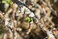 Pachypodium lealii saundersii 2zz.jpg