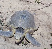 Padre Island National Seashore - Kemps Ridley Sea Turtle