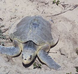 Padre Island National Seashore - Kemps Ridley Sea Turtle.jpg