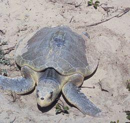 Padre Island National Seashore - Kemps Ridley Sea Turtle