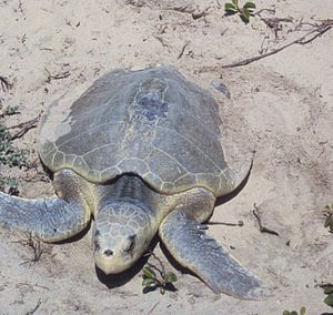 Padre Island National Seashore - A nesting Kemp's ridley sea turtle at PAIS