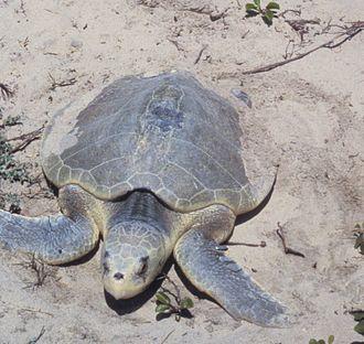 Padre Island - Kemp's Ridley sea turtle
