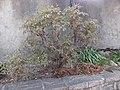 Paeonia suffruticosa Piazzo 01.jpg
