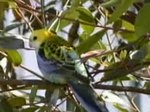 Fil:Pale-headed Rosella.ogv