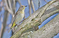 Palm-warbler-108.jpg