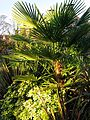 Palm at Rhodes Arts Complex Museum Bishop's Stortford Hertfordshire England.jpg
