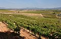 Panoramica de los viñedos de montferri-2012.JPG