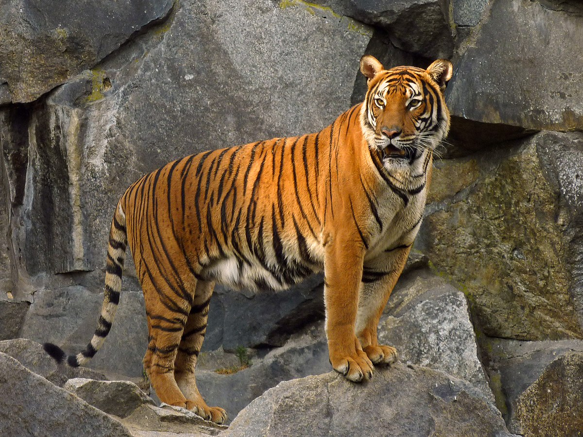 Indochinese tiger - Wikipedia