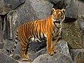 Panthera tigris corbetti (Tierpark Berlin) 832-714-(118).jpg