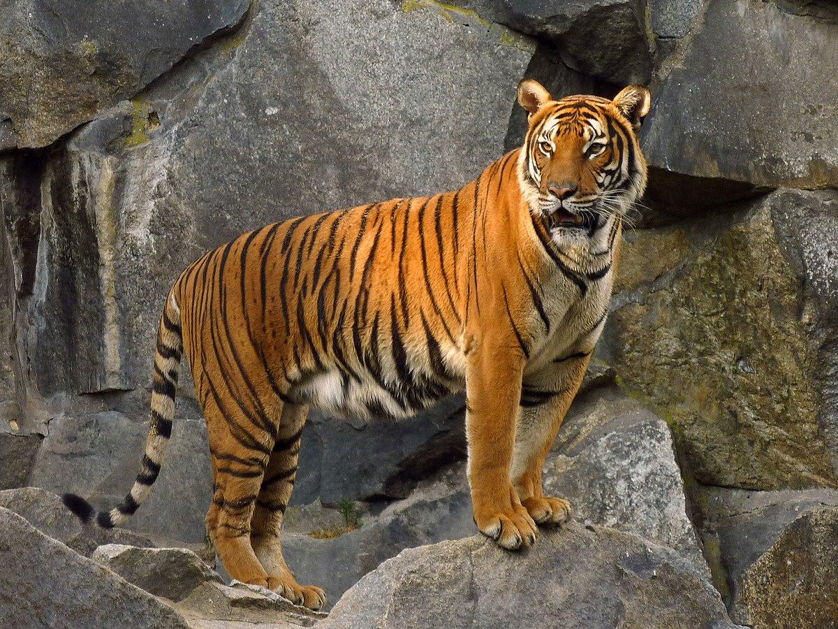 indochinese tiger wikipedia