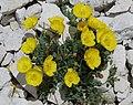Papaver alpinum subsp rhaeticum 2 RF.jpg