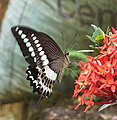 Papilio liomedon Moore, 1874 – Malabar Banded Swallowtail on Ixora coccinea at Peravoor (4).jpg