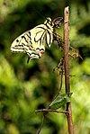 Papilio machaon 02.JPG