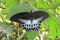 Papilio polymnestor Cramer, 1775 – Blue Mormon at Mayyil (4).jpg