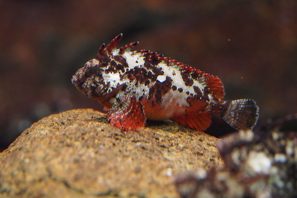 Paracentropogon rubripinnis, a member of Waspfishes (Family Tetrarogidae) (16063248265)