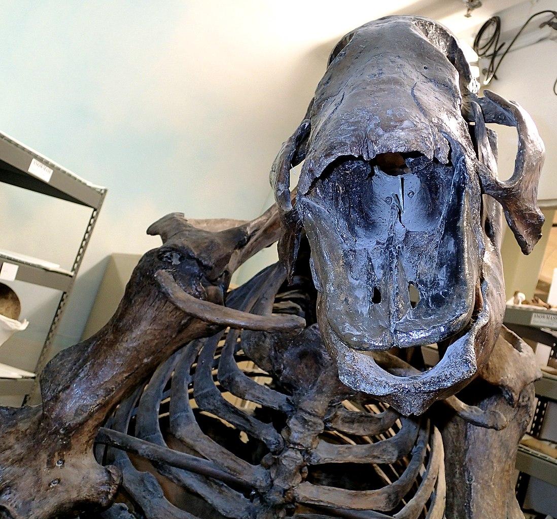 fileparamylodon harlani ground sloth la brea asphalt upper pleistocene rancho la brea los angeles southern california usa 8 15257572298jpg