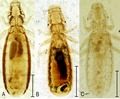 Parasite150059-fig1 - Chewing lice of genus Ricinus.tif