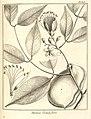 Parivoa grandiflora Aublet 1775 pl 303.jpg
