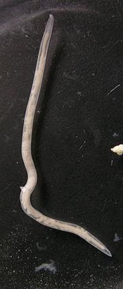 ingewandsworm parkiet, 4 cm lang