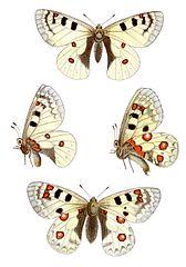 Menace du Papillon dans PAPILLON 168px-Parnassius_sacerdos_-_Alpenapollo