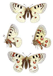 Petit apollon wikip dia - Dessin de petit papillon ...
